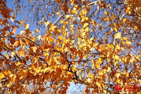 西乌旗白桦林:一叶知秋,让草原的秋天更加绚丽多彩(高清)【7】