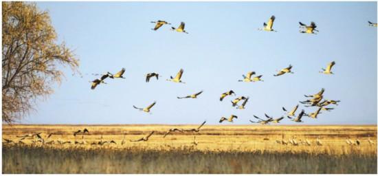 新疆库鲁斯台湿地灰鹤起舞