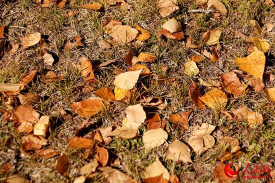 西乌旗白桦林:一叶知秋,让草原的秋天更加绚丽多彩(高清)【5】