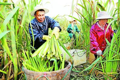 南京新品茭白获丰收 平均亩产达3000公斤
