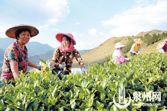泉州:深山秋日茶飘香 茶农迎来最忙碌时节