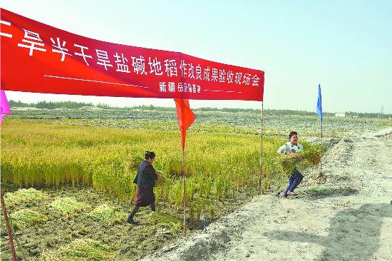 新疆岳普湖:海水稻喜获丰收