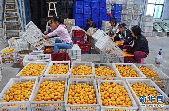 (脱贫攻坚)(1)江西南丰:蜜桔产业助力精准脱贫
