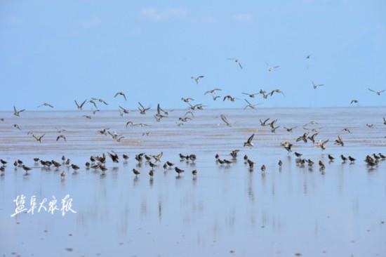 盐城东台沿海湿地成为百种越冬珍禽乐园