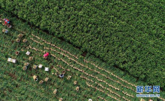 (丰收的味道)(1)河北唐山:生姜喜获丰收