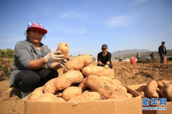 #(经济)(1)河北迁西:山地红薯富农增收