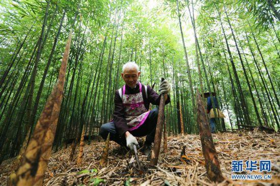 #(经济)(1)贵州赤水:5万余亩大竹笋迎来收获季