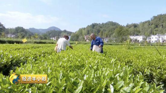 降血脂、降血糖!这种神奇茶叶竟让茶农收入翻番...