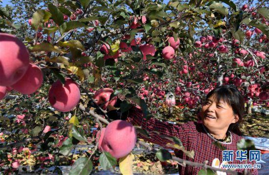 """(丰收的味道)(1)陕西宜川:苹果成为致富""""摇钱树"""""""