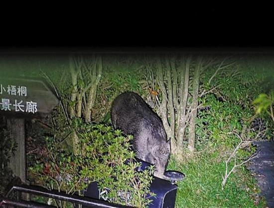 """图为10月12日晚,管理人员拍摄的野猪觅食照片。   近日,梧桐山风景区内,频频有野猪趁夜觅食被撞见。近年来,随着梧桐山生态环境的提升,野生动物也逐渐增多,与管理人员和游客不期而遇的情况时有发生。欣喜之余,如何让人与自然和谐共处,避免人类与动物相互攻击,成为市民探讨和关心的话题。   山里""""黑""""客频频现身   深圳梧桐山风景区管理处山顶管理站管理员梁国强介绍,10月12日凌晨1时许,大家正在休息时,门外突然传来""""砰""""的一声,像什么东西倒地的声音,之后还伴随"""