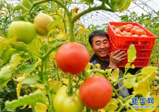 (经济)(3)河北滦州:规模化发展设施蔬菜种植促增收