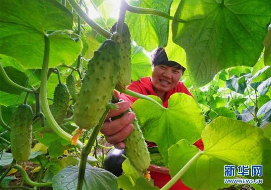 (经济)(1)河北滦州:规模化发展设施蔬菜种植促增收