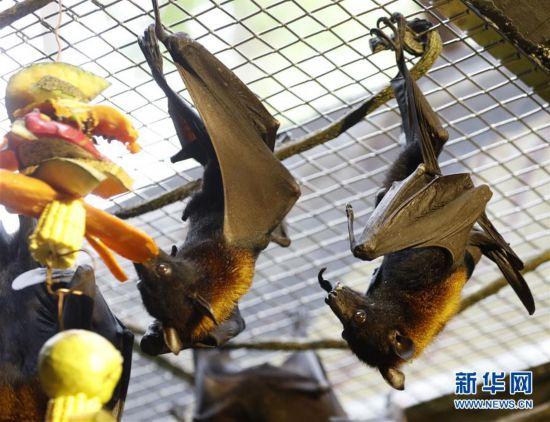 (社會)(2)馬來大狐蝠在廣州展出