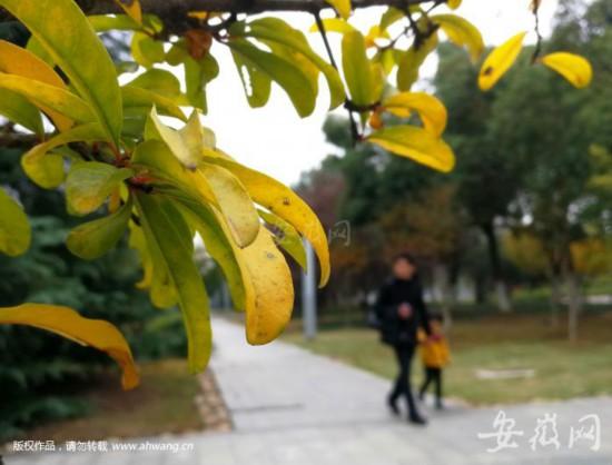 """今迎""""霜降"""",合肥街头的树叶已知,这是深秋。"""