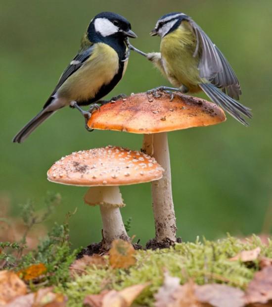 太萌了!两只山雀站在蘑菇上为争夺食物开战