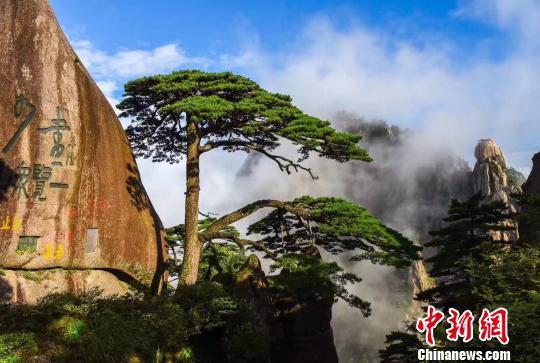 黄山风景区多举措保护迎客松等古树名木