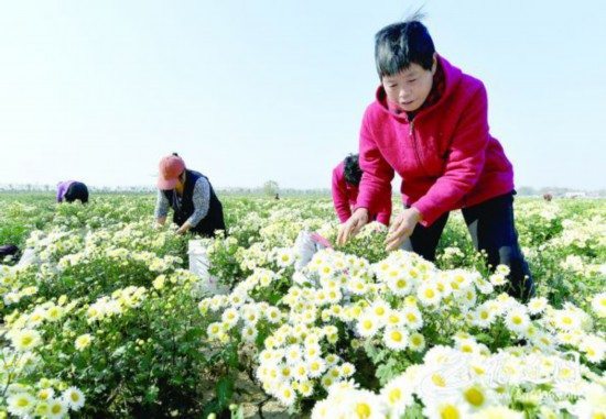 宿遷泗陽2100余畝菊花豐收 帶動300余人就業