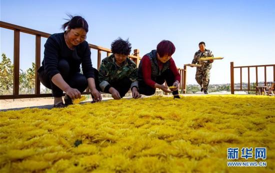 (经济)(1)特色菊花种植铺就致富路
