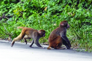江蘇句容茅山發現百余隻高度野化的獼猴種群