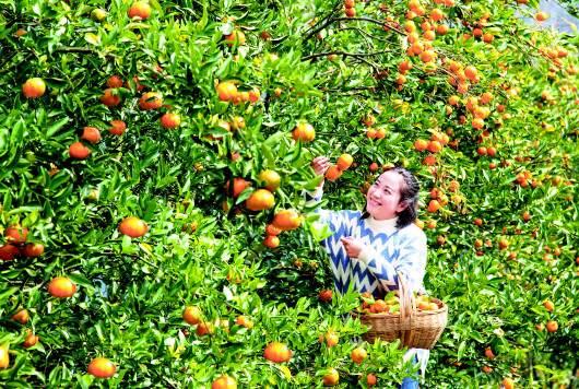 黔西县素朴镇的果农正忙着采摘金钱橘