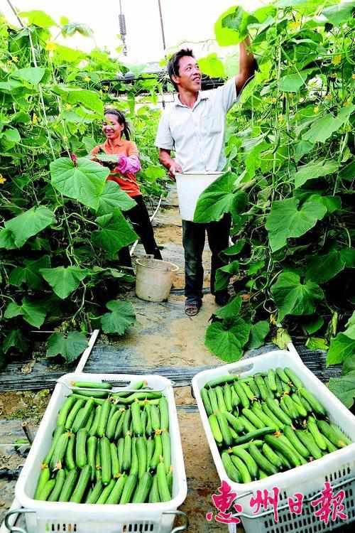 四季绿公司菜农采摘水果黄瓜。