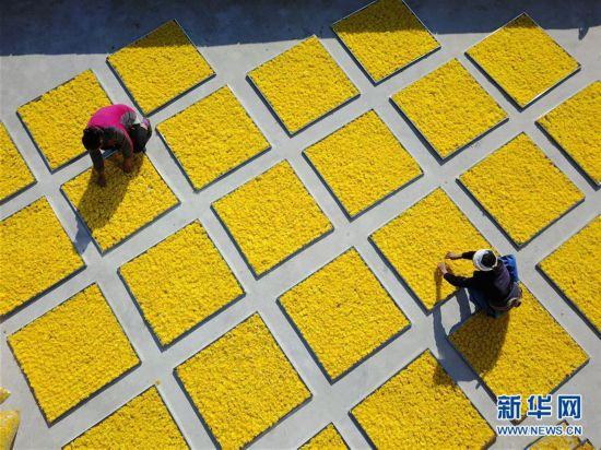 (经济)(1)贵州龙里皇菊丰收