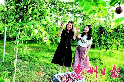 海纳农业生态园的百香果吸引游客前来采摘。