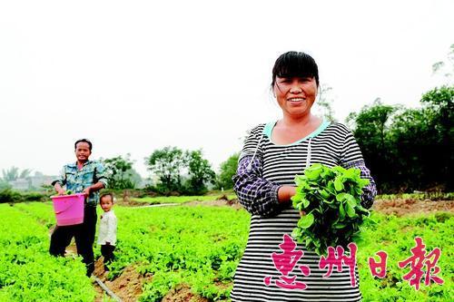 博罗石坝镇一农场的豆苗长势喜人。