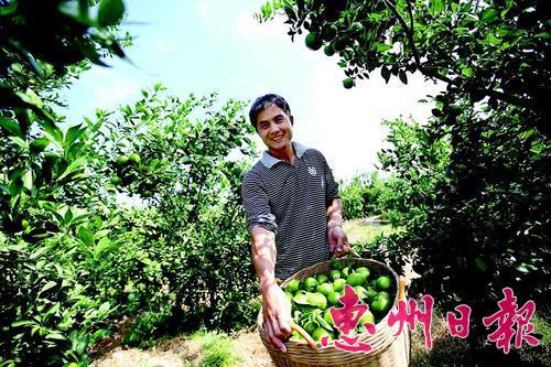 贡柑熟了,惠东县白盆珠镇横江村果农笑逐颜开。