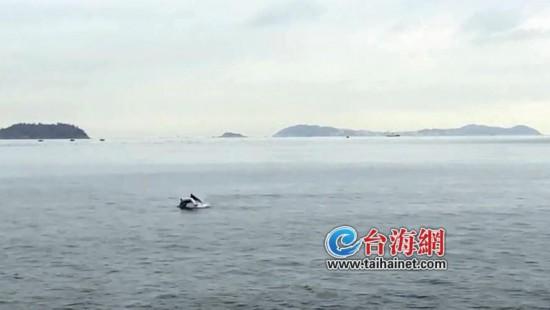 """双豚戏""""双鱼""""游客忙拍照 近两年中华白海豚频繁出没漳州双鱼岛海域"""