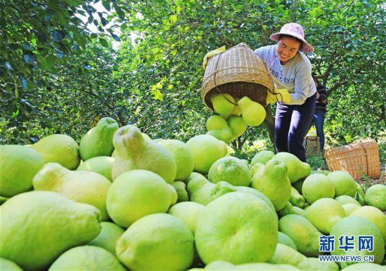 #(经济)(1)广西融水:苗乡柚丰收