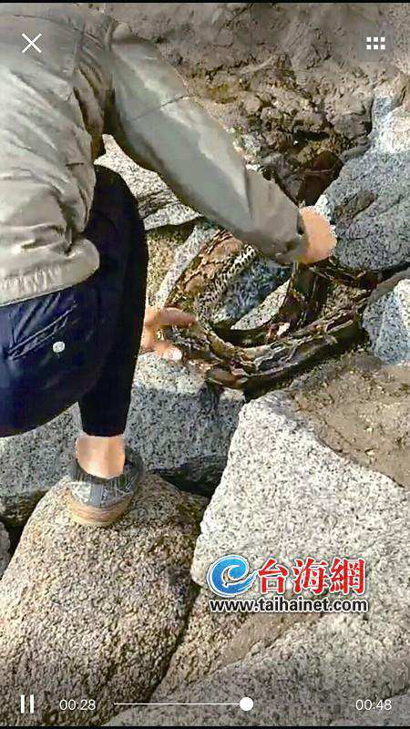 放生者随意放生?一个月内四条蟒蛇频频出现在厦门海边