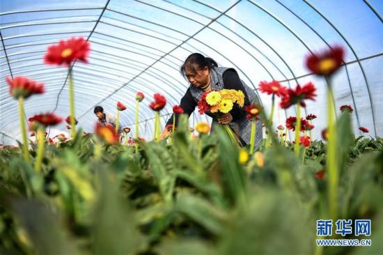 江苏泗洪小桂庄:非洲菊种植助推乡村振兴