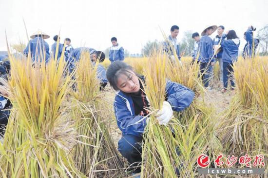 昨日,宁乡市第三届闹秋节在双江口镇启幕,1000多名游客和中小学生共同体验农耕文化。              长沙晚报记者 贺文兵 摄