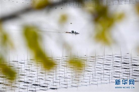 (丰收的味道)(3)福建霞浦:海上田园的丰收季