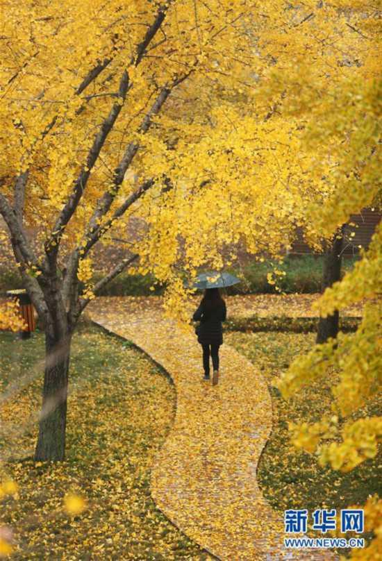 #(社会)(3)立冬将至 银杏遍地金