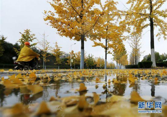#(社会)(1)立冬将至 银杏遍地金