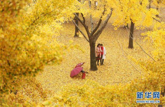 #(社会)(4)立冬将至 银杏遍地金