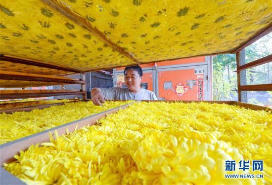 (社会)(2)河北邯郸:菊花飘香富农家