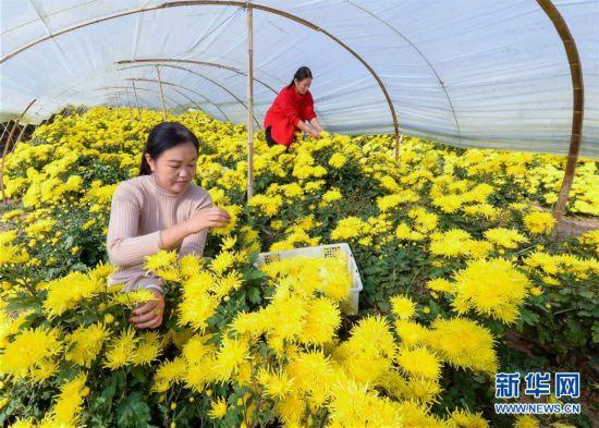 (社会)(1)河北邯郸:菊花飘香富农家