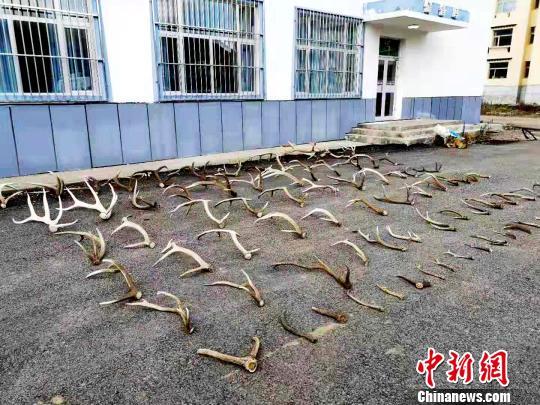 男子非法进入三江源自然保护区捡拾大量鹿角被查获