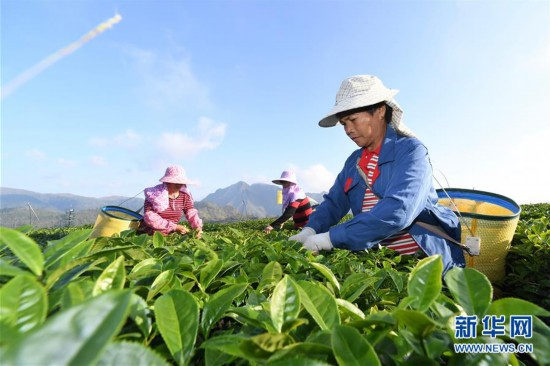 (丰收的味道)(1)福建平和:高山茶园采摘季