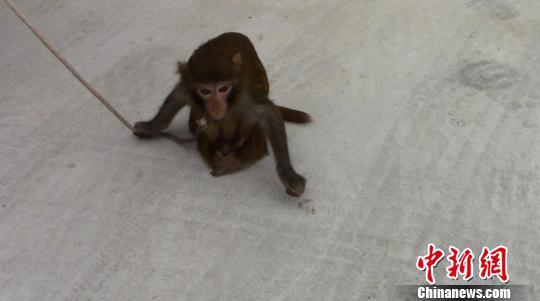 图为脊柱变形的国家二级保护动物猕猴。文山州森林公安局供图   接警后,巡逻特警对耍猴男子进行盘查,发现其证件有问题,当即联系森林公安。森林公安民警赶到现场,只见一只脊柱变形的猴子被拴在树上,围观民众在旁议论纷纷。   随后,森警将男子和猴子带回调查,该男子姓张,河南人,此次来富宁县是想唱歌卖艺赚点生活费。张某称,猴子大约四五岁,是今年5月份一名做传统猴戏的朋友赠送,希望残疾猴陪伴演出,能吸引观众,多赚点钱。