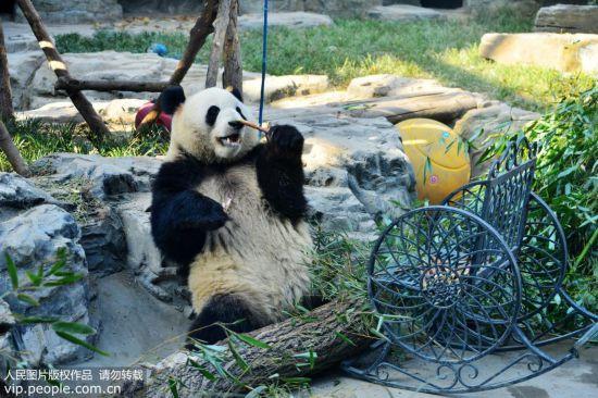 北京:初冬暖阳下大熊猫享美食