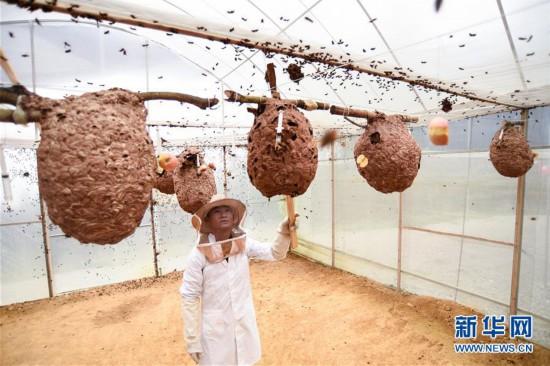 贵州望谟:胡蜂养殖助力脱贫增收