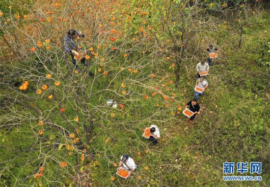 10月3日,在贵州省玉屏侗族自治县朱家场镇鱼塘村,农民在搬运柿子