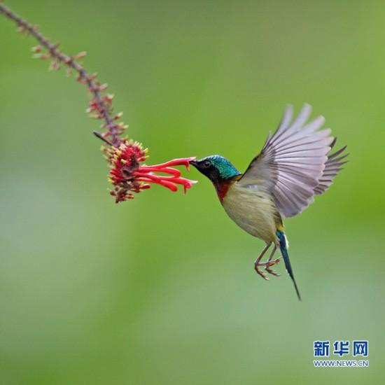 """叉尾太阳鸟的""""花式舞蹈"""""""