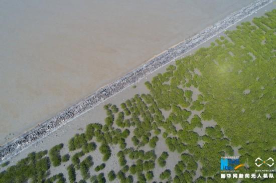 湄洲岛上的红树林