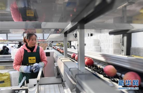 """(经济)(1)陕西延安:苹果""""后整理""""助推产业扶贫"""