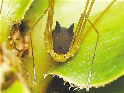 """外形奇特 蜘蛛长个""""黑狗头"""""""